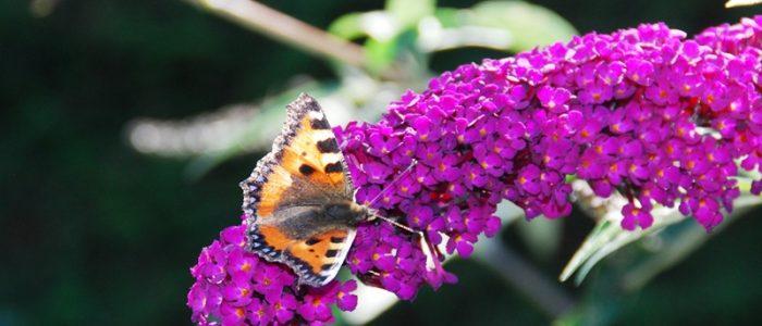 Vlinder op vlinderstruik a
